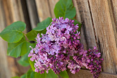 Lilac branch at the wooden background Stock Image