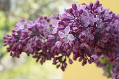 Lilac branch on yellow background. Lilac flower. Lilac branch on yellow background Stock Image