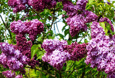 Lilac branches with large panicles Stock Photos