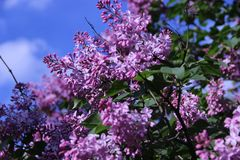 Lilac branches. royalty free stock photos