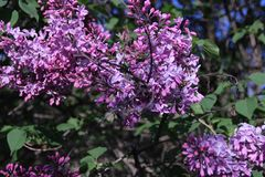 Lilac branches. royalty free stock image