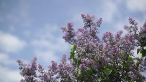 Lilac branches on the sky background. Clip stock video footage