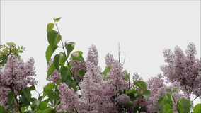 Lilac branches swaying in the wind stock video footage