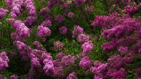 Lilac branches swaying in the wind. Beautiful lilac branches swaying in the wind stock video footage