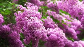 Lilac branches swaying in the wind. Beautiful lilac branches swaying in the wind stock video