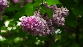Lilac branches swaying in the wind. Beautiful lilac branches swaying in the wind stock footage