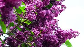 Lilac branches swining in the wind in springtime, macro background. HD 1920x1080 stock footage