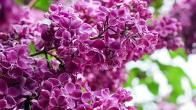 Lilac branches swining in the wind in springtime, macro background. HD 1920x1080 stock video footage