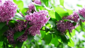 Lilac branches swining in the wind in springtime, macro background. HD 1920x1080 stock video