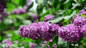 Lilac branches swining in the wind in springtime, macro background stock video footage