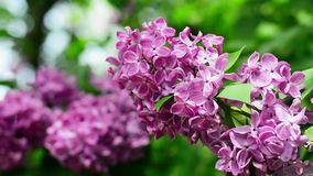 Lilac branches swining in the wind in springtime, macro background stock footage
