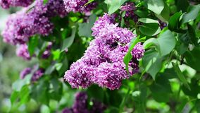 Lilac branches swining in the wind in springtime, macro background. stock footage