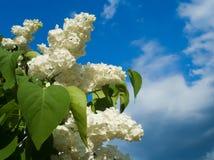 Lilac branco fotografia de stock royalty free