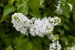 Lilac branco Imagem de Stock
