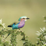 Lilac-Breasted Rol in serengeti, Tanzania Royalty-vrije Stock Afbeeldingen