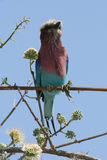 Lilac-breasted Roller. Bird sitting on a branch, light blue background, photo taken in Namibia royalty free stock images
