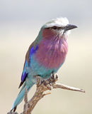 Lilac-Breasted Roller. An early morning shot of a lilac-breasted roller,in the Serengeti national park, Tanzania Royalty Free Stock Image