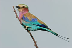 Lilac-breasted roller Royalty Free Stock Photography