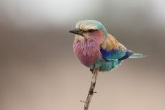 Lilac breasted roller. A Lilac breasted Roller sits in the rain Royalty Free Stock Image