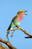 Lilac Breasted Roller Stock Photography