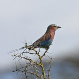 Lilac-breasted roller Royalty Free Stock Image