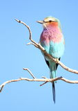 Lilac Breasted Roller. Photographed in the Kalahari Stock Image