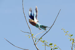 Lilac breasted roller Stock Images
