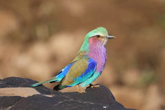 Lilac Breasted Roller. Photographed in the Kruger Stock Photos