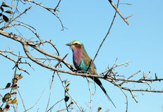 Lilac-breasted Roller. On a Branch, Khwai River, Botswana Stock Photography