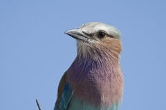 Lilac breasted roller Royalty Free Stock Photos