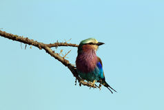 Lilac-breasted Roller Stock Images