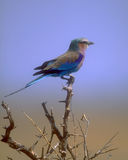 Lilac-breasted Roller Stock Photos
