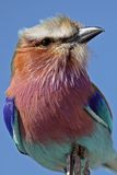 Lilac-breasted roller, Africa Stock Photo