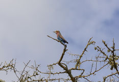 Lilac-Breasted Roller in Africa Royalty Free Stock Photos
