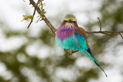 Lilac  breasted roller Stock Image