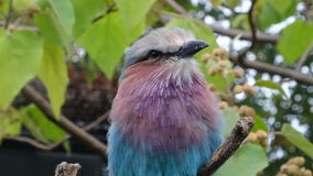 Lilac breasted roller bird in London zoo Stock Images