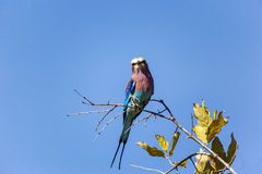 Lilac Breasted Roller Bird In Tanzania Stock Images