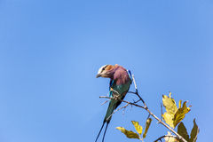 Lilac Breasted Roller Bird In Tanzania Royalty Free Stock Photos