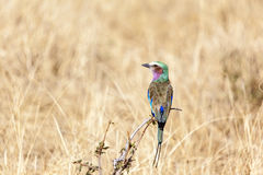 Lilac Breasted Roller Bird In Tanzania Royalty Free Stock Images