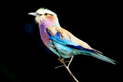 Lilac Breasted Roller  on Black Background Royalty Free Stock Photo