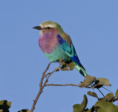 Lilac Breasted Roller - Botswana stock photos