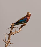 Lilac-breasted Roller on a branch Stock Photo