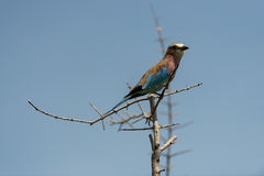 A Lilac Breasted Roller on a branch. Taken in the Okavango Delta of Botswana Royalty Free Stock Photos