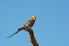Lilac-breasted Roller on a branch Royalty Free Stock Image