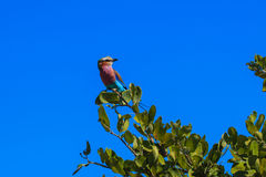 Lilac-breasted roller on a branch Royalty Free Stock Photo