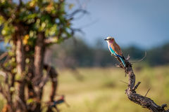 A Lilac-breasted roller on a branch. Royalty Free Stock Photo
