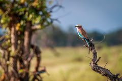 A Lilac-breasted roller on a branch. Stock Image