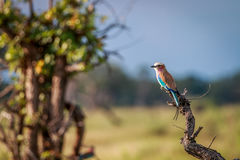 A Lilac-breasted roller on a branch. Stock Photos