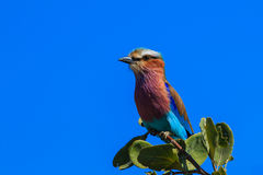Lilac-breasted roller branch tree Stock Photography