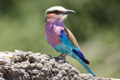 Lilac Breasted Roller - Chobe N.P. Botswana, Africa Stock Photo